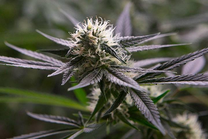 Cannabis flower